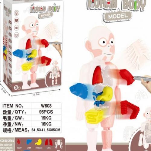 Игрушечная модель человеческого тела Human Body Model W603 оптом